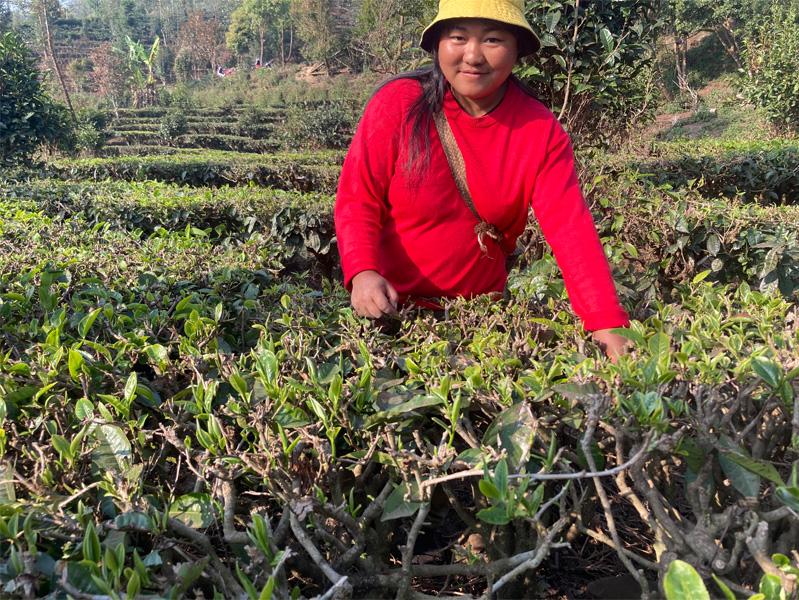 Organic Yunnan Green Tea 18
