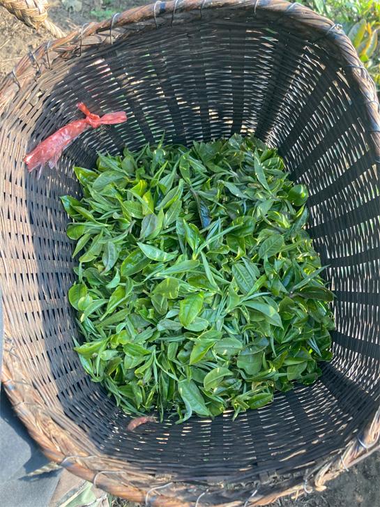 Organic Yunnan Green Tea 21