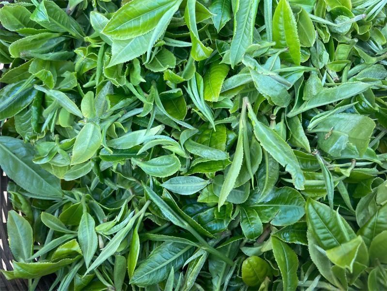 Organic Yunnan Green Tea 22