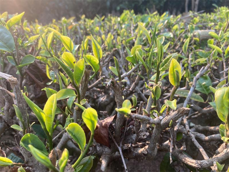 Organic Yunnan Green Tea 3