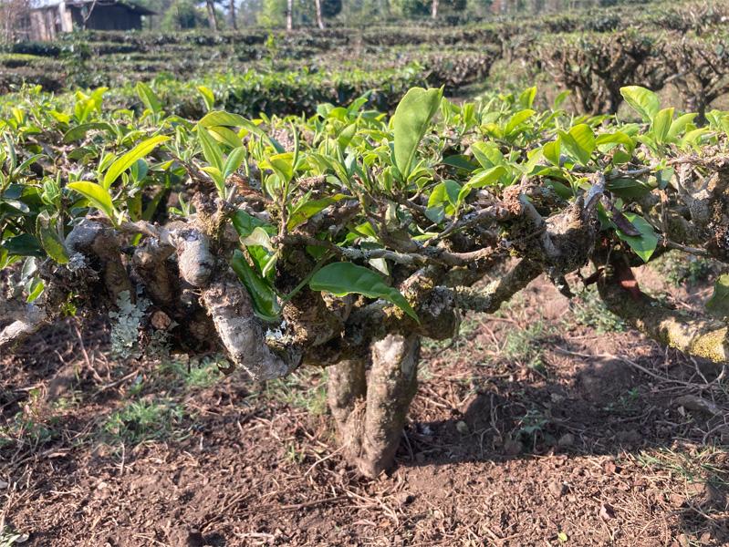 Organic Yunnan Green Tea 4