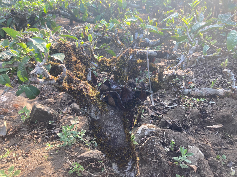 Organic Yunnan Green Tea 5
