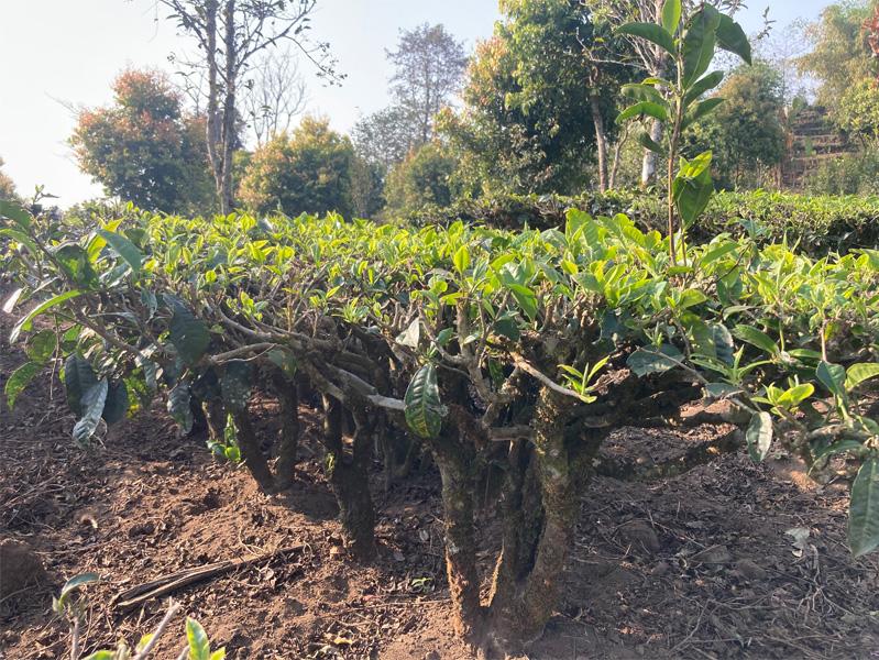 Organic Yunnan Green Tea 7