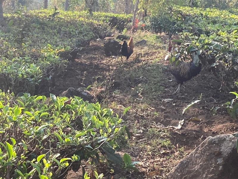 Organic Yunnan Green Tea 9