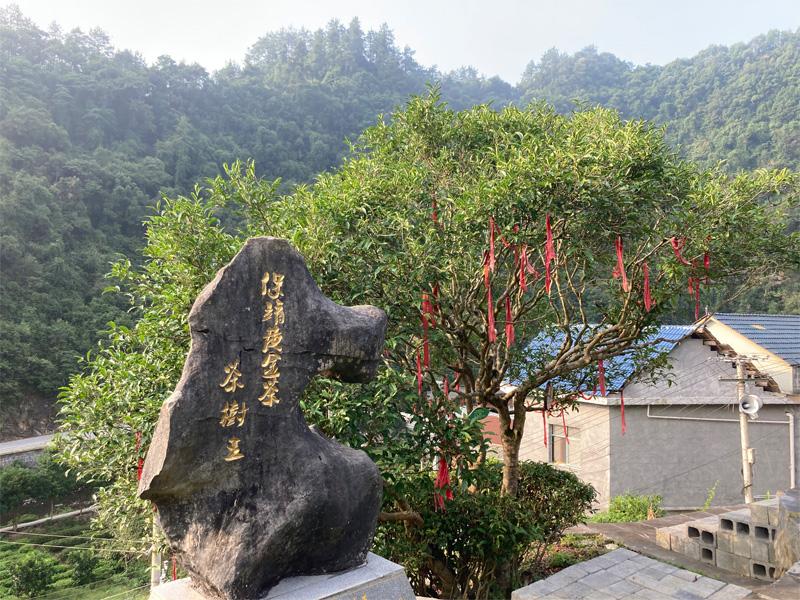 Bao Jing Huang Jin Cha 6