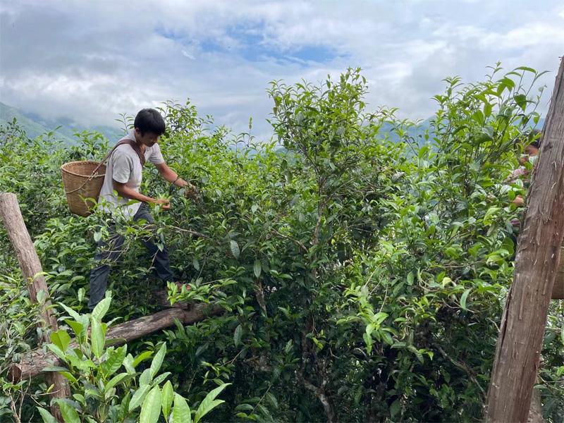 The Harvesting of Xigui Pu-erh 2021 Antumn Crop 1