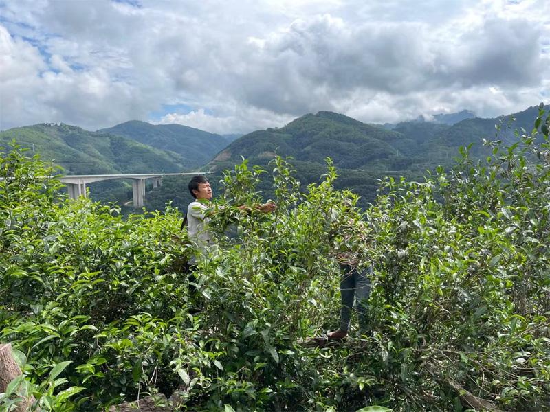 The Harvesting of Xigui Pu-erh 2021 Antumn Crop 2