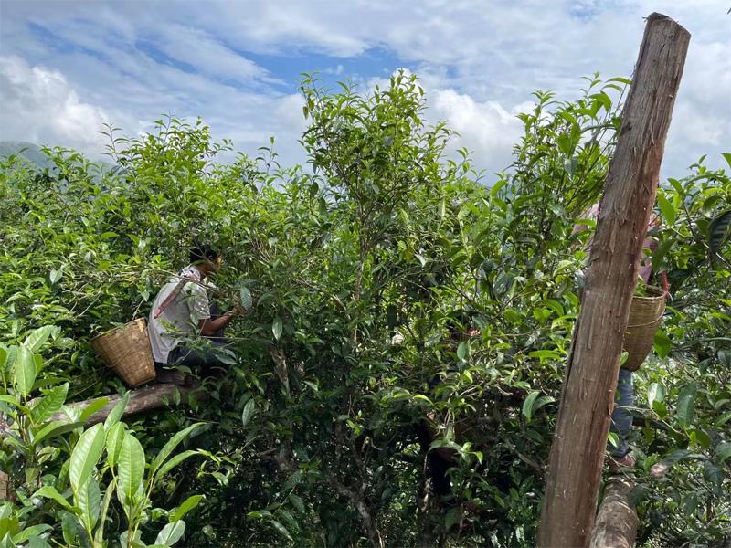 The Harvesting of Xigui Pu-erh 2021 Antumn Crop 4