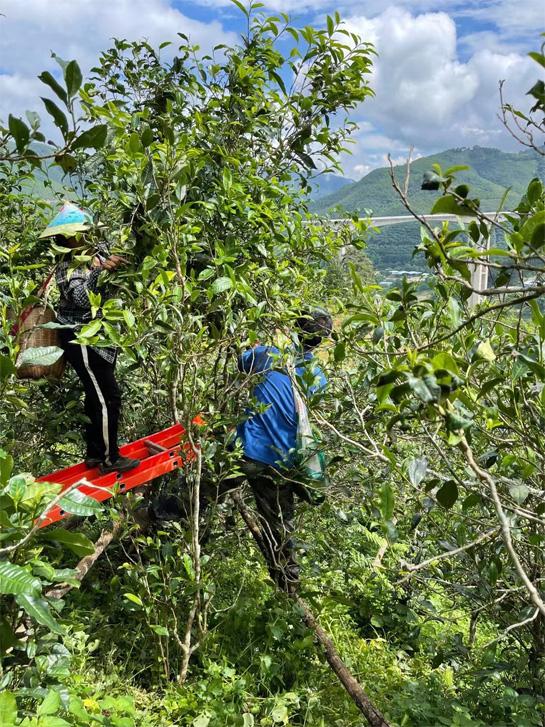 The Harvesting of Xigui Pu-erh 2021 Antumn Crop 5
