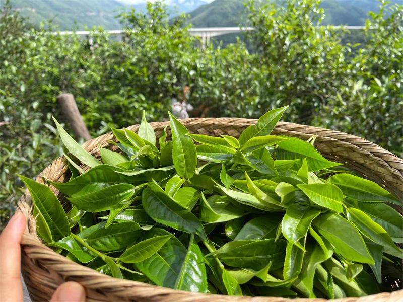 The Harvesting of Xigui Pu-erh 2021 Antumn Crop 6