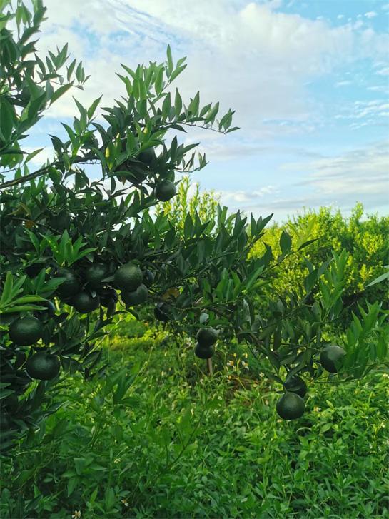 The processing of Tangerine Pu-erh in Xinhui 1