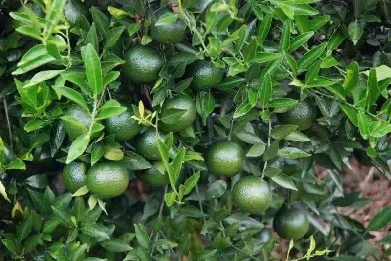 The processing of Tangerine Pu-erh in Xinhui 2