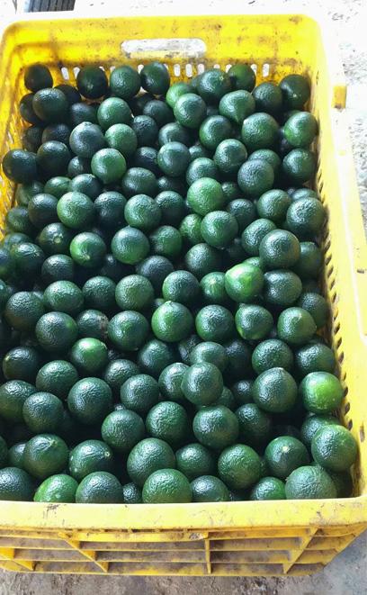 The processing of Tangerine Pu-erh in Xinhui 3